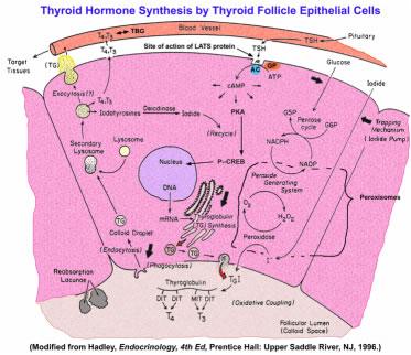 Produção, armazenamento e liberação hormonal dentro da célula e folículo tireóide.
