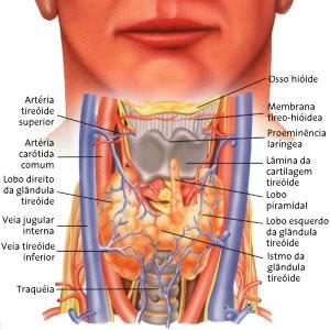 Anatomia da tireóide